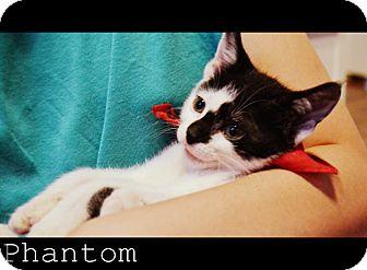 Domestic Shorthair Kitten for adoption in Arlington/Ft Worth, Texas - Phantom