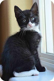 American Shorthair Kitten for adoption in El Dorado Hills, California - Toby
