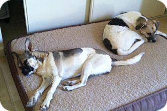 Australian Cattle Dog/Australian Shepherd Mix Dog for adoption in Cave Creek, Arizona - Luke