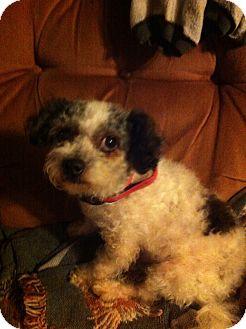Poodle (Toy or Tea Cup)/Shih Tzu Mix Dog for adoption in Warren, Michigan - Bobby Otis