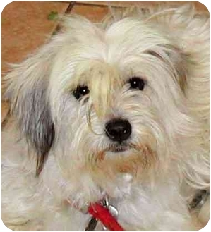 Lhasa Apso/Terrier (Unknown Type, Small) Mix Dog for adoption in Rolling Hills Estates, California - Annie