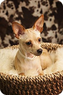 Miniature Pinscher Mix Dog for adoption in Detroit Lakes, Minnesota - Baby