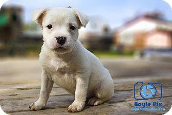 Pit Bull Terrier/Dogo Argentino Mix Puppy for adoption in Cincinnati, Ohio - Bellatrix