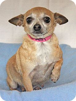 Chihuahua Mix Dog for adoption in Waldorf, Maryland - Hannah