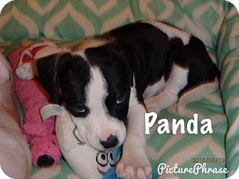 Pit Bull Terrier Mix Puppy for adoption in Beaumont, Texas - Panda