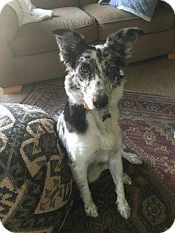 Australian Shepherd Mix Dog for adoption in Warren, Michigan - Olive the Aussie