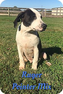 German Shorthaired Pointer Mix Puppy for adoption in Cheney, Kansas - Ruger