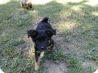Border Collie Mix Puppy for adoption in Tiptonville, Tennessee - Bear