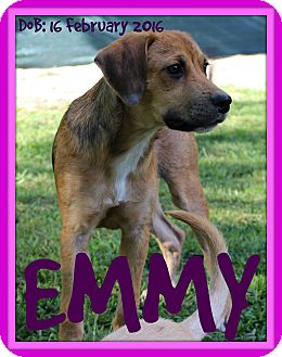Hound (Unknown Type) Mix Dog for adoption in White River Junction, Vermont - EMMY