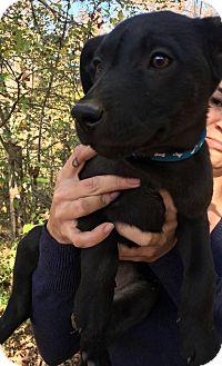 Labrador Retriever Mix Puppy for adoption in Boston, Massachusetts - Rosita