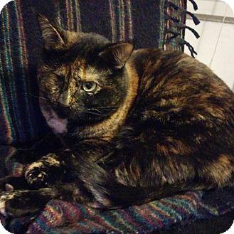Domestic Shorthair Cat for adoption in Toronto, Ontario - Squish