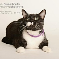 Domestic Shorthair Cat for adoption in Estherville, Iowa - Shadow