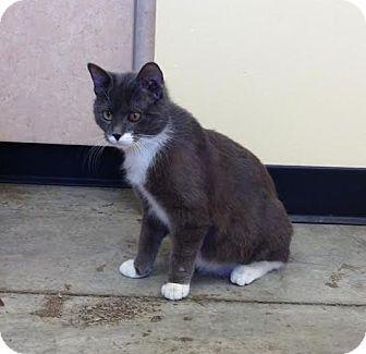 Domestic Shorthair Cat for adoption in Larned, Kansas - Sylvester