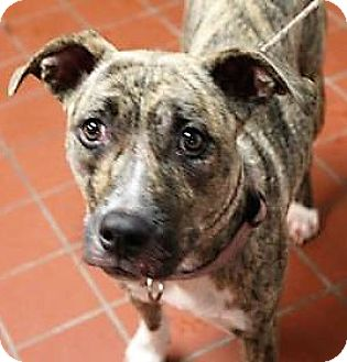 American Staffordshire Terrier Mix Dog for adoption in Daytona Beach, Florida - Momma