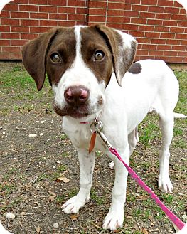 Pointer Mix Dog for adoption in McKinney, Texas - Lola