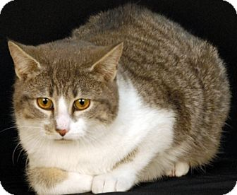 Domestic Shorthair Kitten for adoption in Newland, North Carolina - Heath