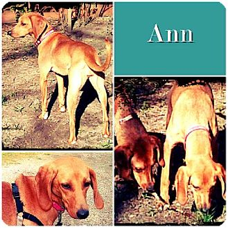 Redbone Coonhound/Mountain Cur Mix Dog for adoption in Ontario, Ontario - Ann ADOPTED
