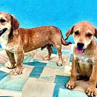 Adopt A Pet :: Two Doxie pups from Baja - Portland, OR