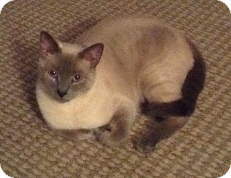 Siamese Cat for adoption in Parkton, North Carolina - Ghost
