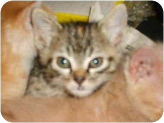 Domestic Shorthair Cat for adoption in Carthage, Missouri - Baby