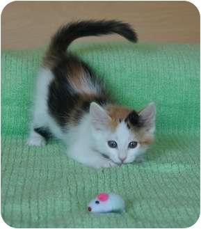 Domestic Shorthair Kitten for adoption in Houston, Texas - Kitty Gaga