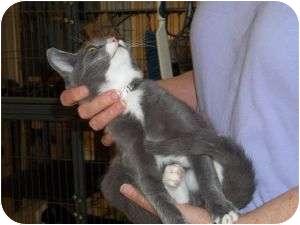 Domestic Shorthair Kitten for adoption in McDonough, Georgia - Hickory