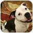 Photo 3 - Boxer Mix Dog for adoption in Lake Odessa, Michigan - Spartacus