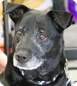 Labrador Retriever Mix Dog for adoption in Palatine, Illinois - Beau