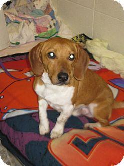 Dachshund Mix Dog for adoption in LaGrange, Kentucky - JACE