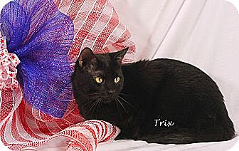 Domestic Shorthair Cat for adoption in Kerrville, Texas - Trixs