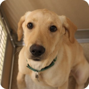 Labrador Retriever Mix Dog for adoption in Naperville, Illinois - Cody