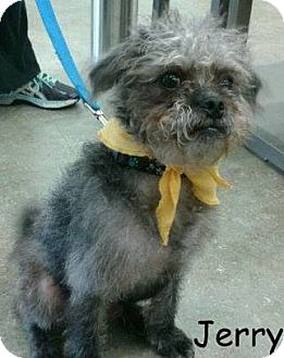 Pug/Poodle (Miniature) Mix Puppy for adoption in New Jersey, New Jersey - NJ Clark - Jerry