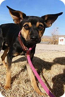 Chihuahua Mix Dog for adoption in Alamogordo, New Mexico - Snickers