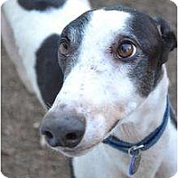 Adopt A Pet :: Jack (Jack Attack) - Chagrin Falls, OH