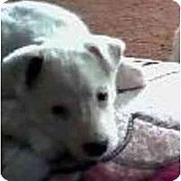 Adopt A Pet :: Artic Snow - Scottsdale, AZ
