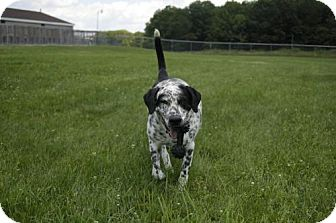 Dalmatian Mix Dog for adoption in East Smithfield, Pennsylvania - Axel