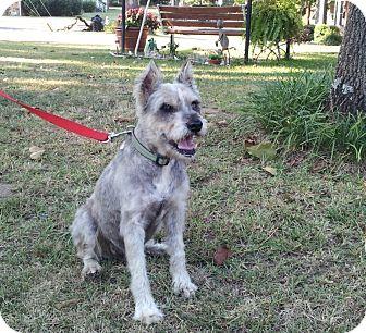 Schnauzer (Miniature) Dog for adoption in North Little Rock, Arkansas - Oscar