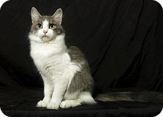 Domestic Mediumhair Cat for adoption in Lufkin, Texas - Paris
