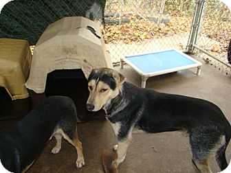 Shepherd (Unknown Type) Mix Dog for adoption in Henderson, North Carolina - Cyroc