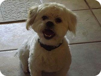 Bichon Frise Mix Dog for adoption in Mesa, Arizona - CUBBY 3 YR BICHON FRISE@PETCO