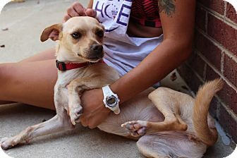 Terrier (Unknown Type, Small)/Chihuahua Mix Dog for adoption in Lumberton, North Carolina - DeeDee
