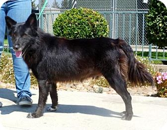 Border Collie/German Shepherd Dog Mix Dog for adoption in Lathrop, California - Blue