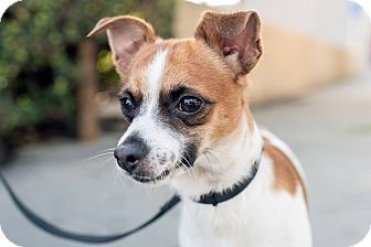 Chihuahua/Terrier (Unknown Type, Small) Mix Dog for adoption in Encino, California - Javier