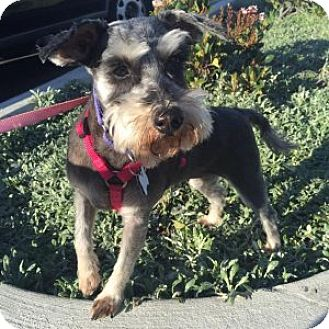 Schnauzer (Miniature) Dog for adoption in Redondo Beach, California - Dani