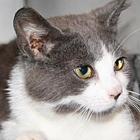 Domestic Shorthair Cat for adoption in Lovingston, Virginia - Molly