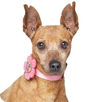 "Miniature Pinscher Mix Dog for adoption in Los Angeles, California - Lady Min - ""I'm an easy dog!"""