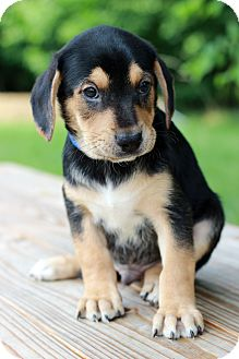 Rottweiler Mix Puppy for adoption in Waldorf, Maryland - Greg
