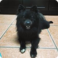 Adopt A Pet :: Loki - Davie, FL