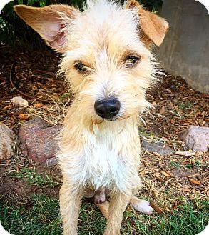 Norfolk Terrier Mix Dog for adoption in Fredericksburg, Texas - CJ