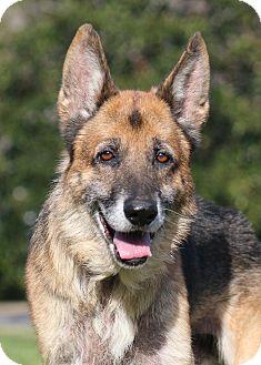 German Shepherd Dog Dog for adoption in Nashville, Tennessee - Schatten